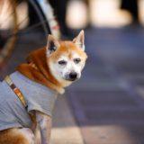 老犬スタイルのススメ